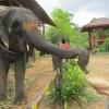 Таиланд. Кочанг. Кормление слонов.