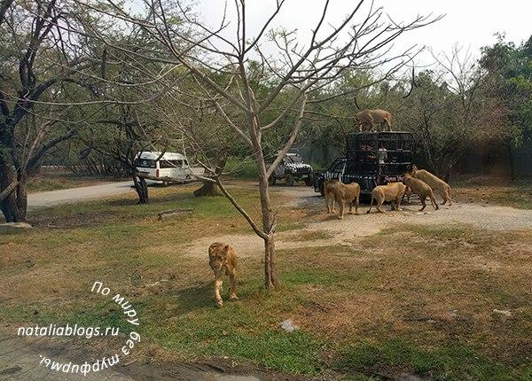 Сафари парк Бангкок - отзывы. Кормление львов